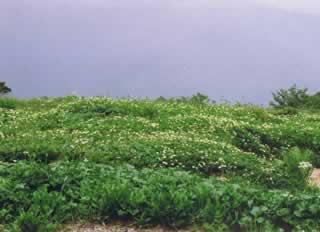 八方尾根のお花畑