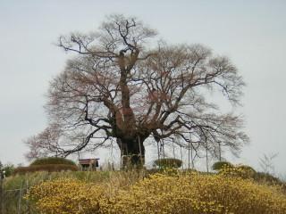 醍醐桜はまだつぼみ