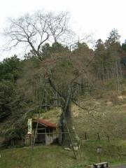 岩井畝の大桜はまだつぼみ