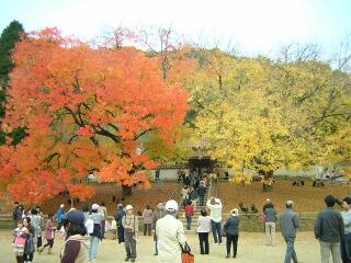 閑谷学校の楷の木