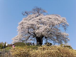 醍醐桜は満開