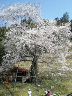 岩井畝の大桜も満開