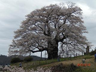 醍醐桜は今年も満開