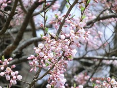 醍醐桜はアズマヒガンという品種です。