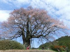 醍醐桜は3、4分咲きです。